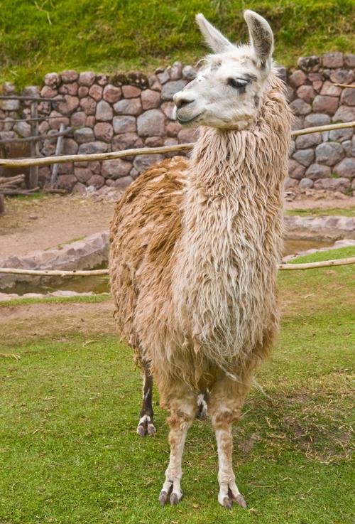 kashmir uld kommer fra